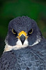 0038 Peregrine Falcon