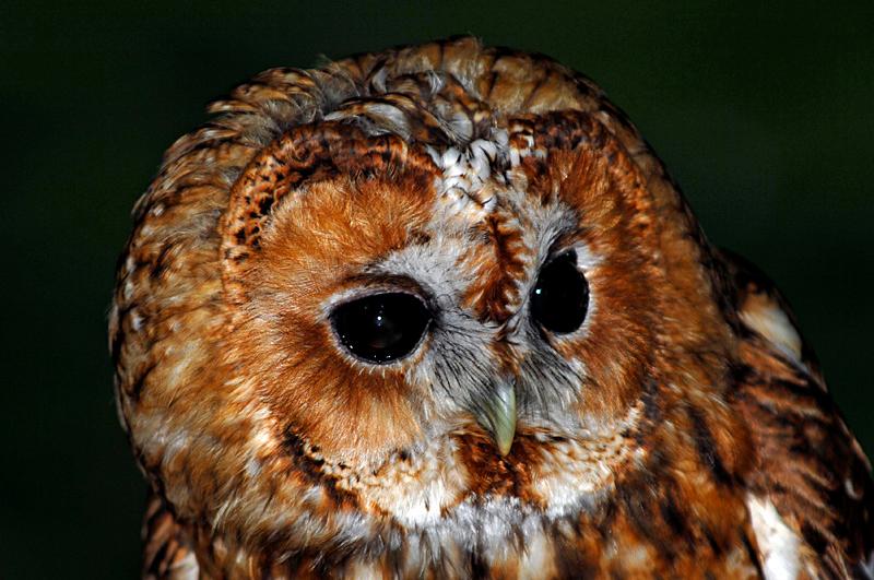 0219 Tawny Owl