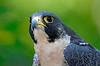 9894 Peregrine Falcon
