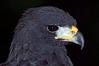 0064 Harris' Hawk