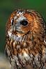 0206 Tawny Owl