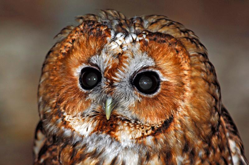 0189 Tawny Owl