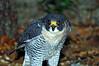 0140 Peregrine Falcon