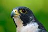 9891 Peregrine Falcon