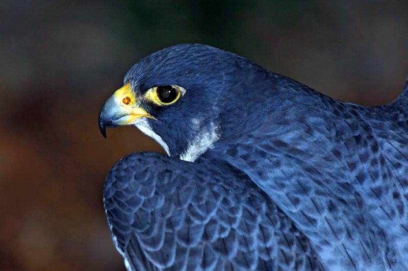 0179 Peregrine Falcon