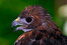 9873 Red-tailed Hawk