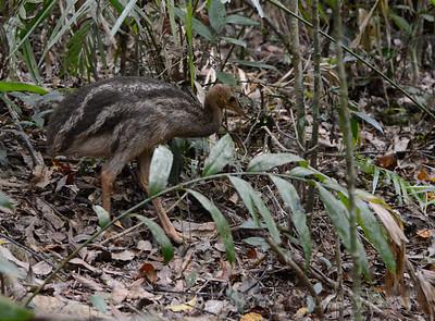 baby cassowary 2