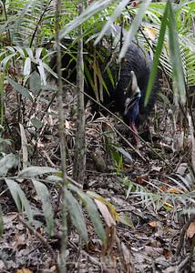 cassowary 6
