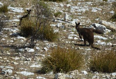 KI Kangaroo 6
