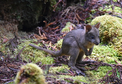 baby wallaby 4