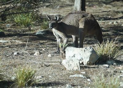 Big fella KI Kangaroo