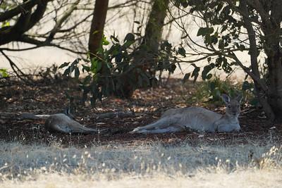 Kangaroos resting 1