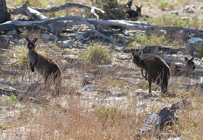 KI Kangaroo 8