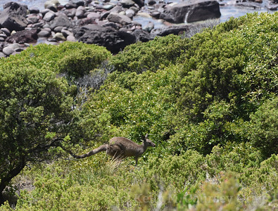 Kangaroo hopping in shrub