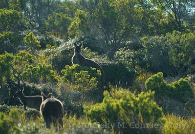 KI Kangaroo 3