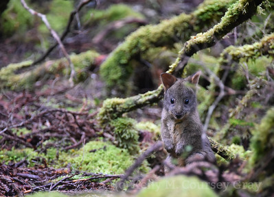 baby wallaby 1