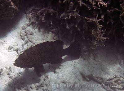 amidee grouper maybe highfin 1