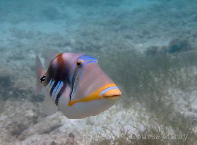 amidee picasso triggerfish 2