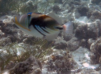 amidee picasso triggerfish 1