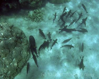 amidee school of fish 1