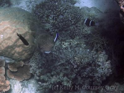 amidee porcupinefish 1