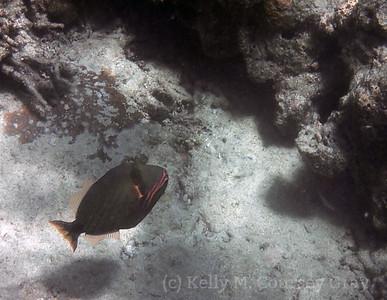 amidee orangelined triggerfish 1