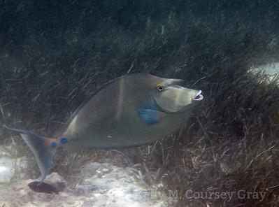 amidee bluespine unicornfish 1