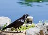 American Crow - Corvus Brachyrhynchos - Denver Botanical Gardens Denver, CO - 2013-05