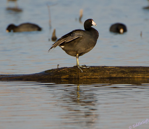 American Coot -  Fulica Americana - Banner Marsh, Banner IL - 2012-03