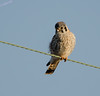 American Kestrel -  Falco Sparverius  - IL - 2013 - 03