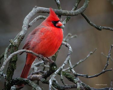 Northern Cardinal - Cardinalis Cardinalis - Male - Brimfield, IL - 2013 - 01