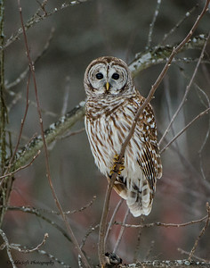 Barred Owl -  Strix Varia - Brimfield, IL - 2014 - 03