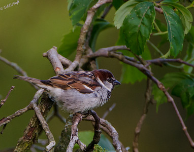 House Sparrow - Passer Domesticus - Brimfield, IL - 2012 - 06