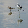 American Avocet - Recurvirostra Americana - Henderson Bird Viewing Preserve, Henderson NV - 2013-08