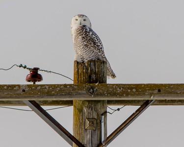 Snowy Owl - Bubo Scandiacus - Galesburg, IL - 2014 - 02