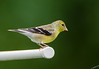 American Goldfinch -  Spinus Tristis - Brimfield, IL - 2012 - 05