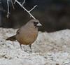 Abert's Towhee - Melozone Aberti - Henderson Bird Viewing Preserve, Henderson, NV - 2018-11