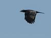 American Crow - Corvus Brachyrhynchos - Brimfield, IL - 2015-08