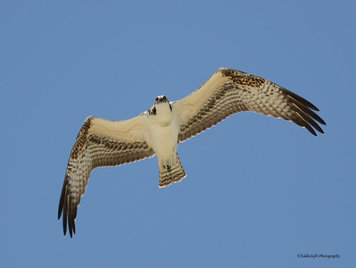 Osprey -  Pandion Haliaetus - Ft Myers,, FL - 2013 - 05