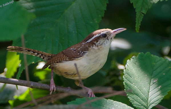 Carolina Wren - Brimfield Lot 07/2013