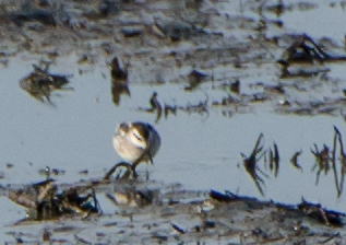 Red-Necked Phalarope shot at Emiquon National Wildlife Refuge