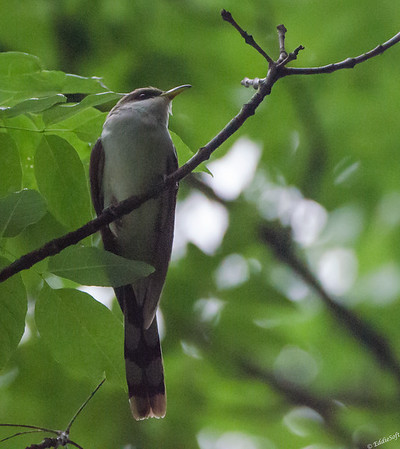 Yellow-Billed Cuckoo Shot at Weldon Springs State Park, Clinton IL