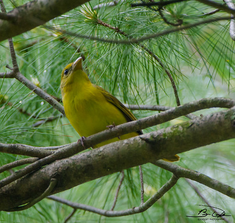 Starved Rock - Summer Tanager May 2015