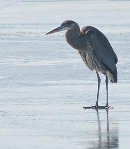 Wildlife - Birds Large - Blue Heron and Egrets