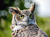 Great Horned Owl at Over Lochridge Farm - 18 July 2020