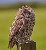 Western Screech Owl at Over Lochridge Farm - 18 July 2020