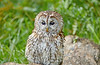 Tawny Owl at Over Lochridge Farm - 18 July 2020