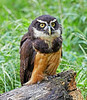 Sabio a Spectacled Owl at Over Lochridge Farm - 18 July 2020