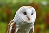 British Barn Owl at Over Lochridge Farm - 18 July 2020
