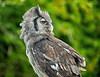 Galaxy a Milky Eagle Owl at Over Lochridge Farm - 18 July 2020